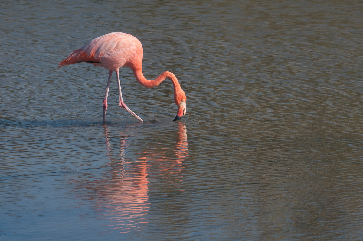 Flamingo in Galapagos Islands