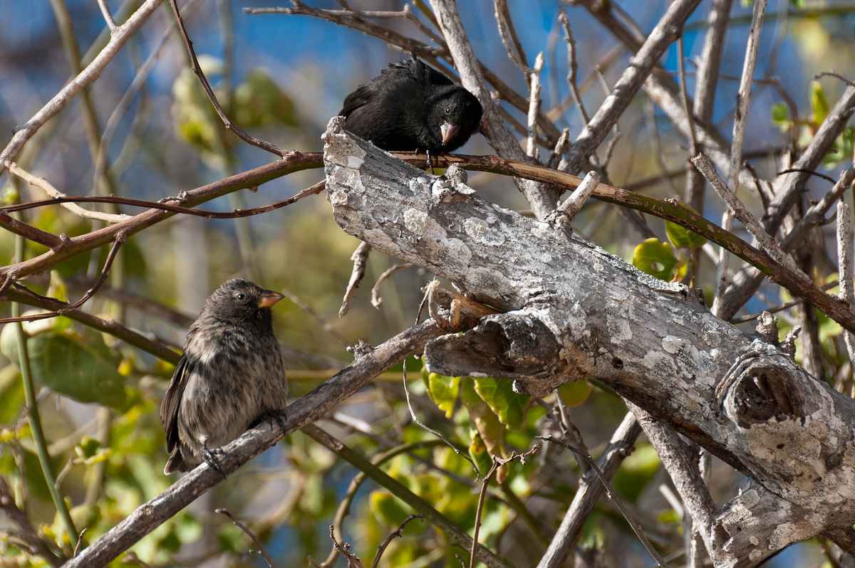 Darwin Finches in the Galapagos Islands