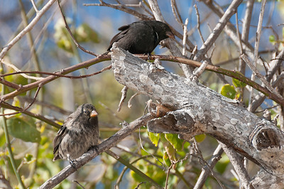 Birds on a tree branch in the Galapagos Islands