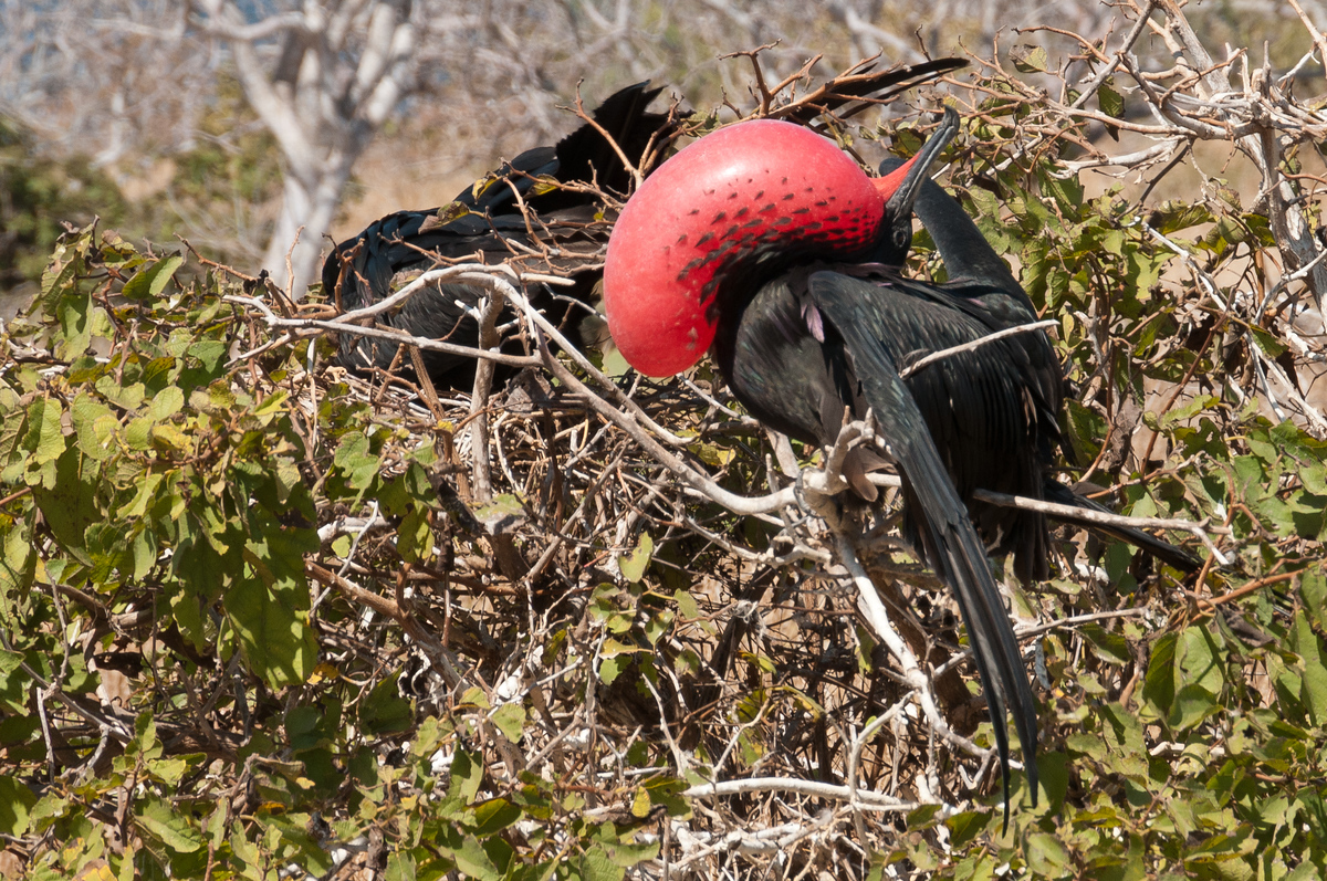 Male Great Frigatebird in the Galapagos Islands