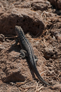 Lava lizard in the Galapagos Islands