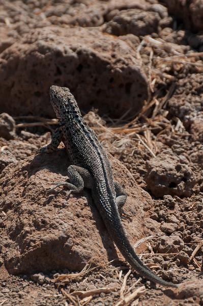 Lava lizard in the Galapagos Islands