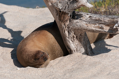 Fur seal in the Galapagos Islands