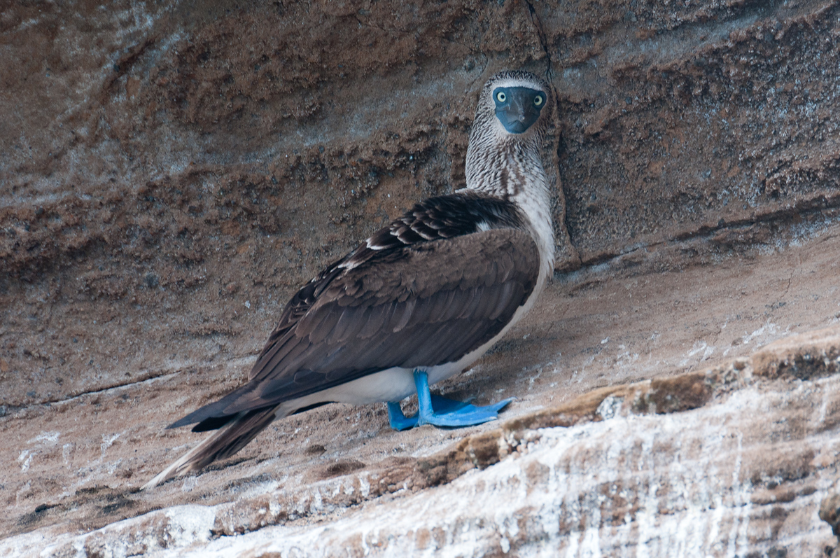 Blue Footed Boobie in the Galapagos Islands