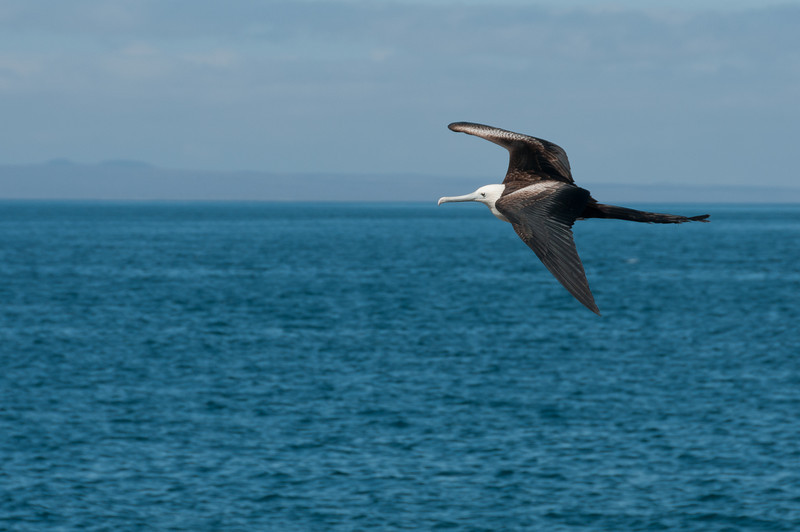 Bird on flight in the Galapagos Islands
