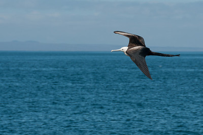 Bird on flight in the Galapagos Islands