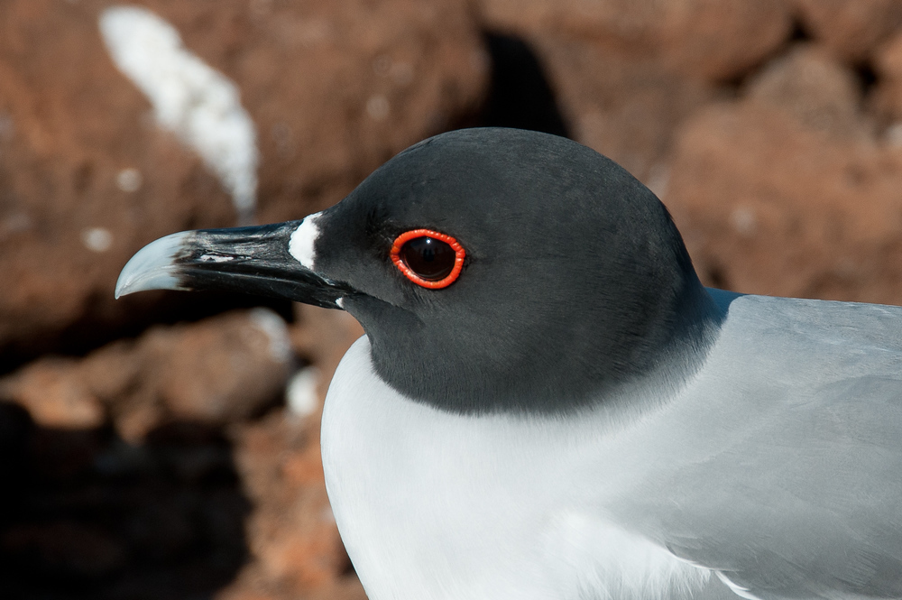 Swallow-tailed Gull in the Galapagos Islands