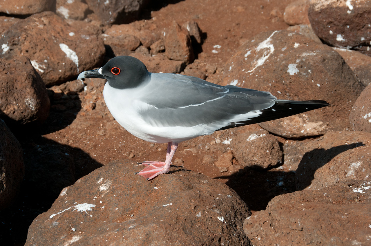 Swallow-tailed Gull with red eye ring in the Galapagos Islands