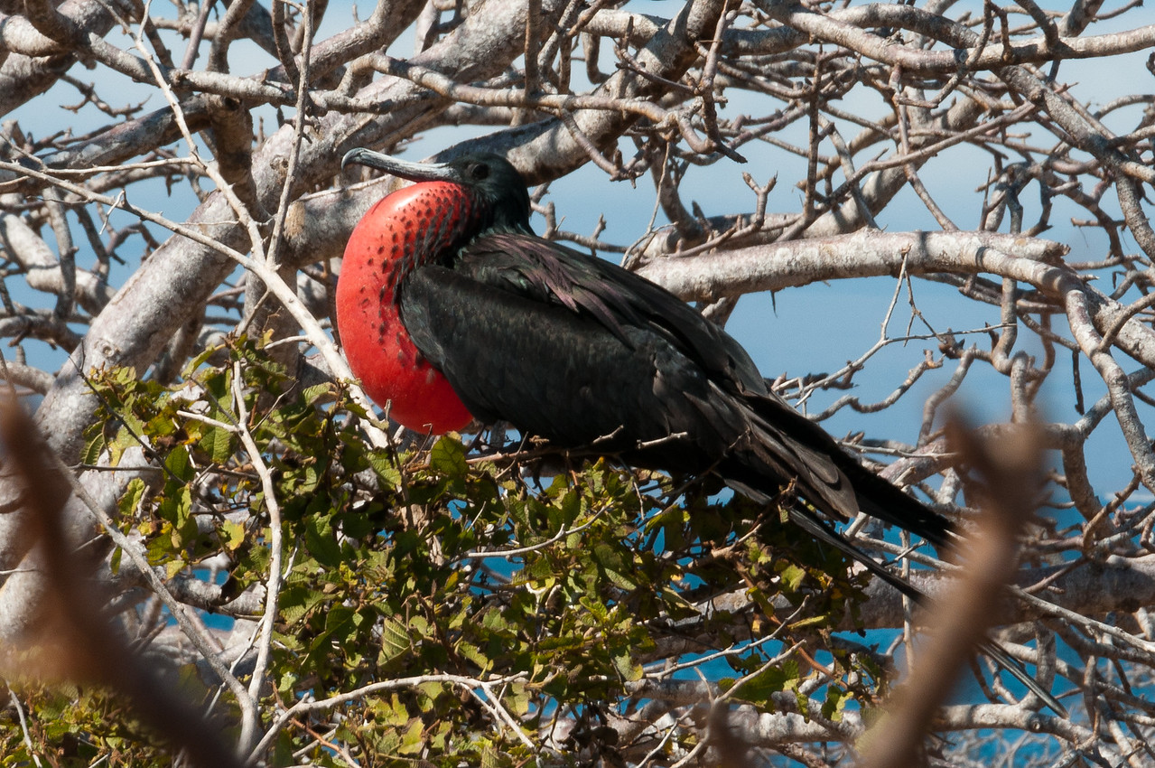 Frigate bird in the Galapagos Islands