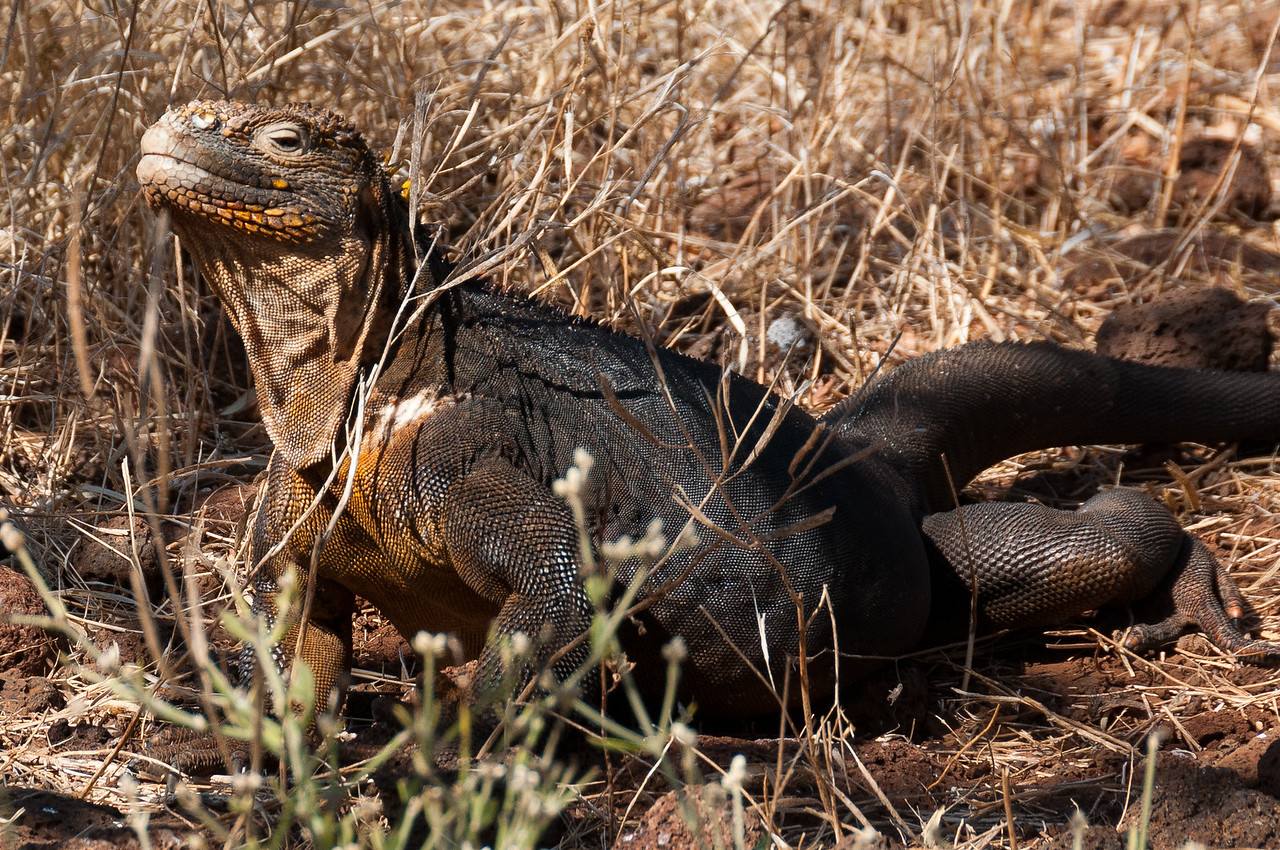 Marine iguanas in the Galapagos Islands