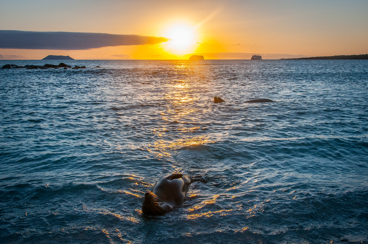 Sea Lions Playing at Sunset in the Galapagos Islands