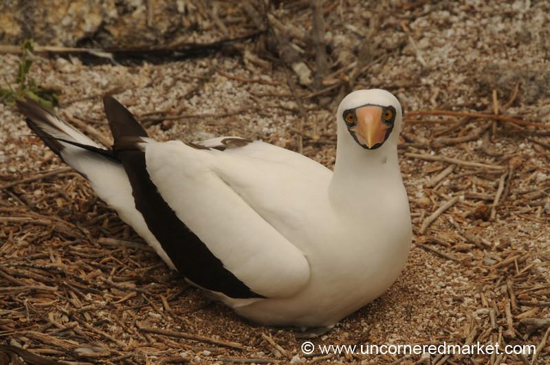 Nazca Booby Nesting - Galapagos Islands