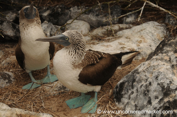 Booby Love - Galapagos Islands
