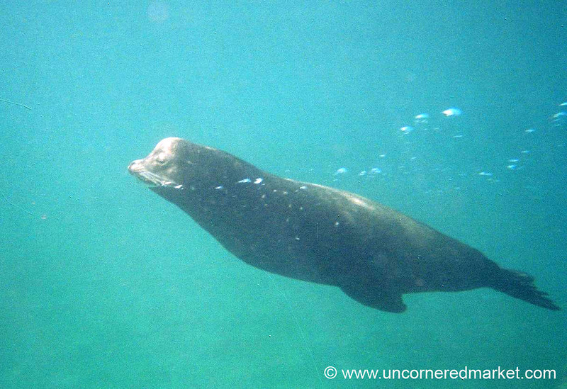 Male Sea Lion Blowing Bubbles - Galapagos Islands