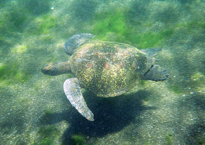 Sea Turtle Below - Galapagos Islands