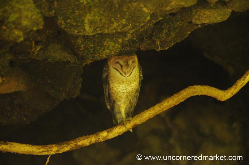 Sleeping Brown Owl - Galapagos Islands