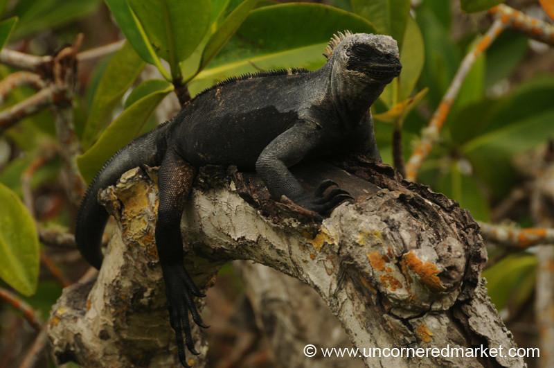Shedding Iguana Skin - Galapagos Islands