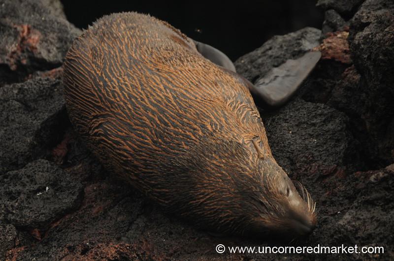Galapagos Fur Seal - Galapagos Islands