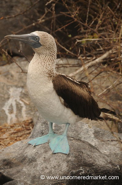 Blue Footed Booby - Galapagos Islands