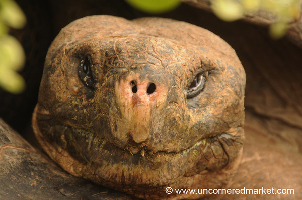 Giant Tortoise Portrait - Galapagos Islands
