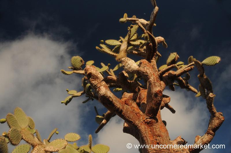 Opuntia Cactus in the Sun - Galapagos Islands