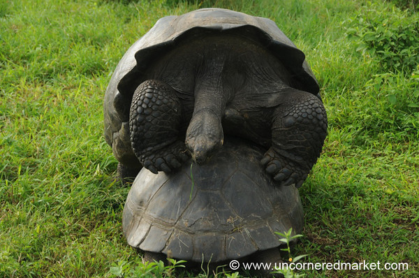 Tortoise Sizing - Galapagos Islands