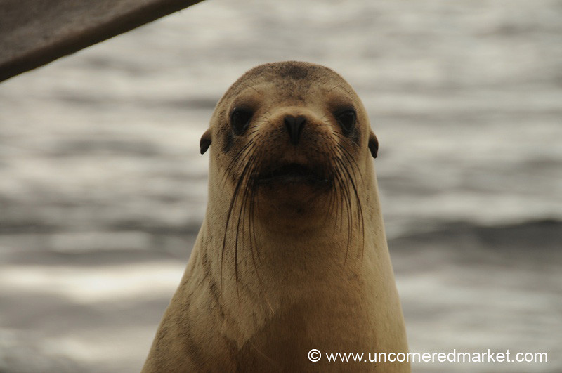 Sea Lion Welcome - Galapagos Islands