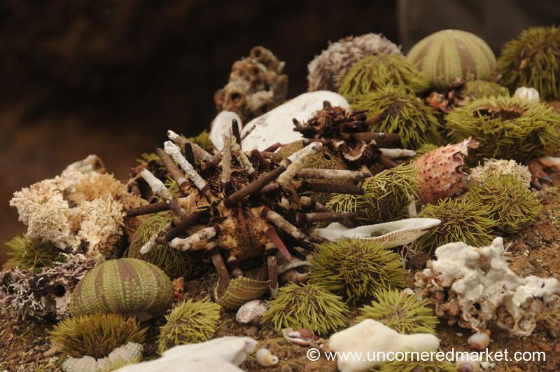 Sample of Galapagos Sea Urchins