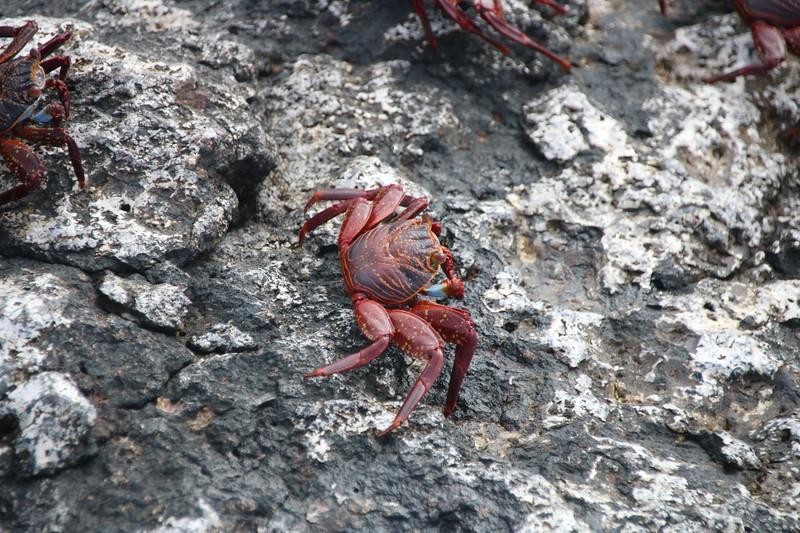 Sally Lightfoot Crab - Galapagos