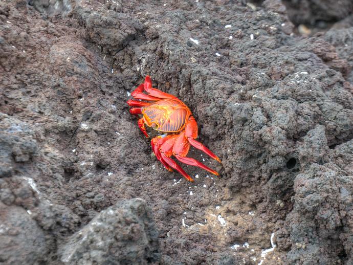 red crab galapagos Grapsus grapsus