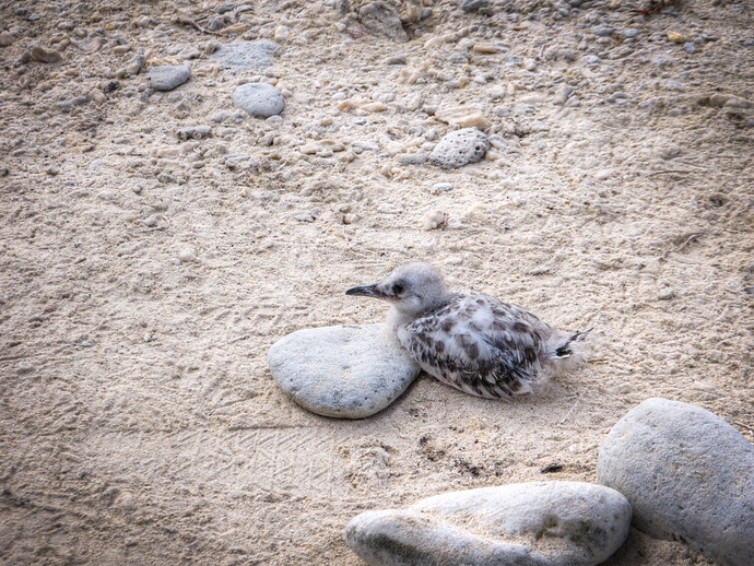 baby swallow tailed gull