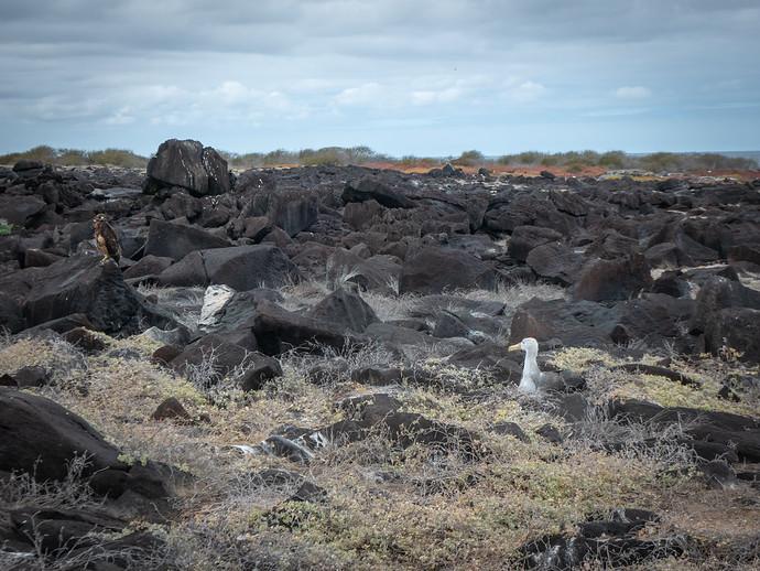 young waved albatross