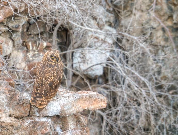 galapagos owl