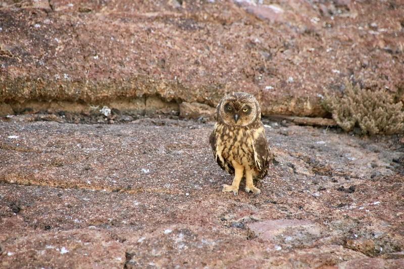 Owl - Galapagos