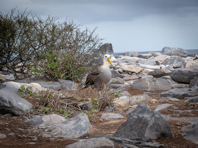 albatross walking
