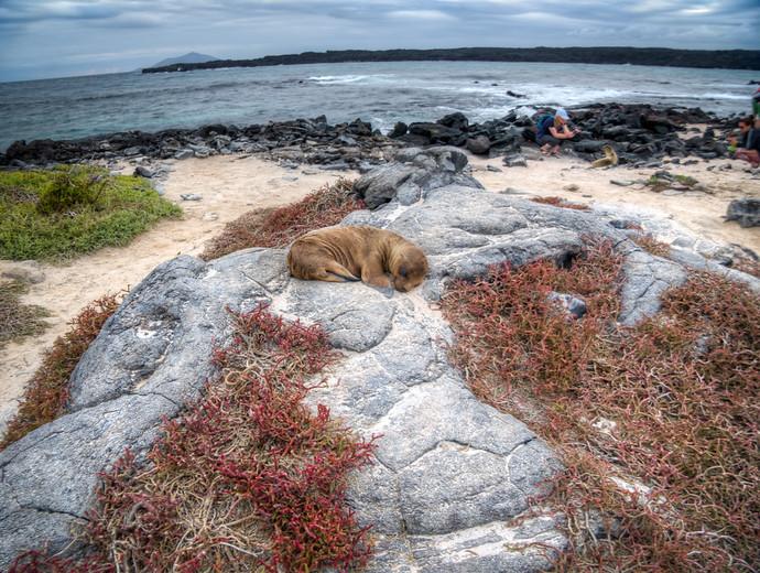 sea lion pup sleeping galapagos