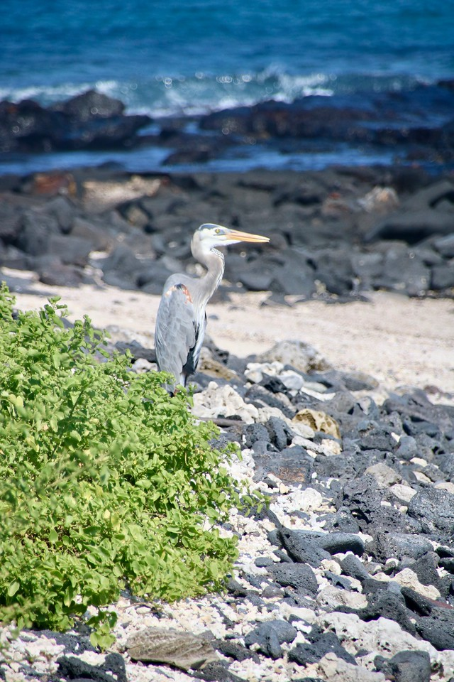 Heron - Galapagos