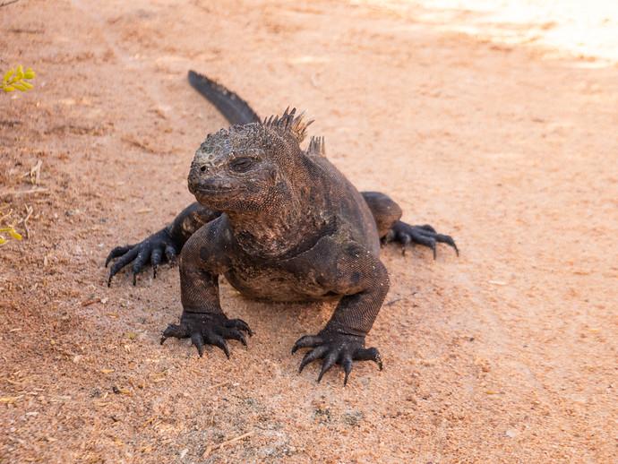 galapagos iguana smile