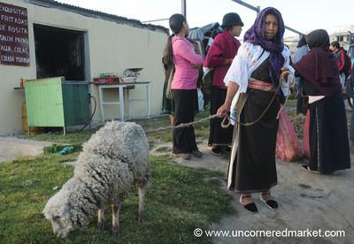 Precious Sheep - Otavalo Market, Ecuador