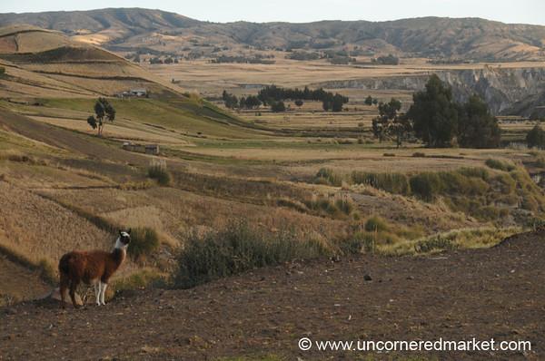 Llama Country - Zumbahua, Ecuador