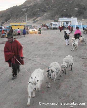 Taking Goats to Market - Zumbahua, Ecuador