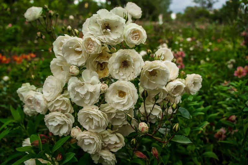 Roses at Quito's Botanical Garden in Ecuador