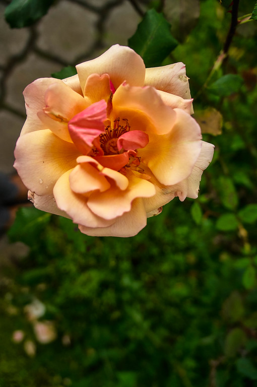 Rose at Quito's Botanical Garden in Ecuador