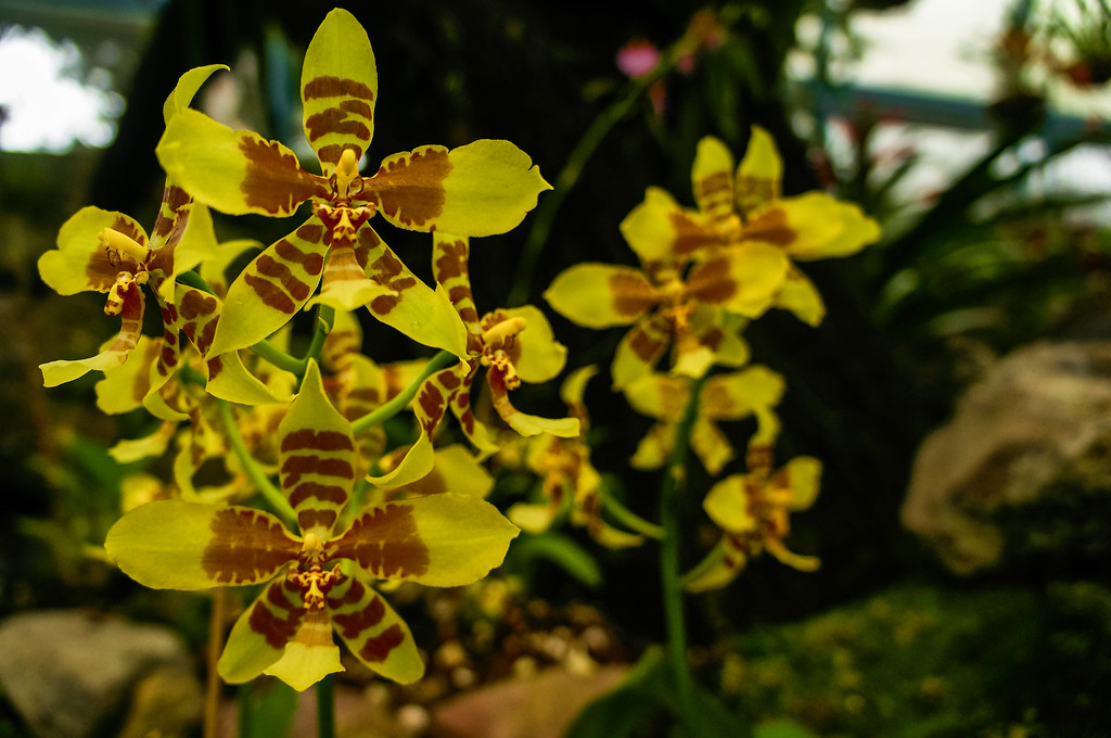 Yellow orchids at Quito's Botanical Garden in Ecuador