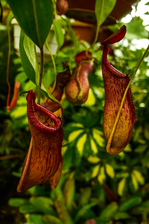 Carnivorous plant at Quito's Botanical Garden in Ecuador