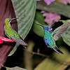 Green-crowned Brilliant - Female and Sparkling Violetear Hummingbirds