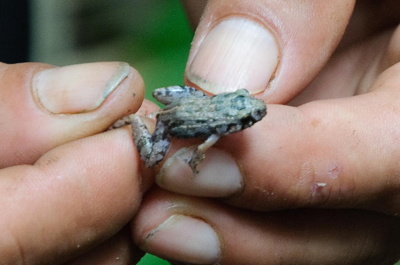 Jungle Frog