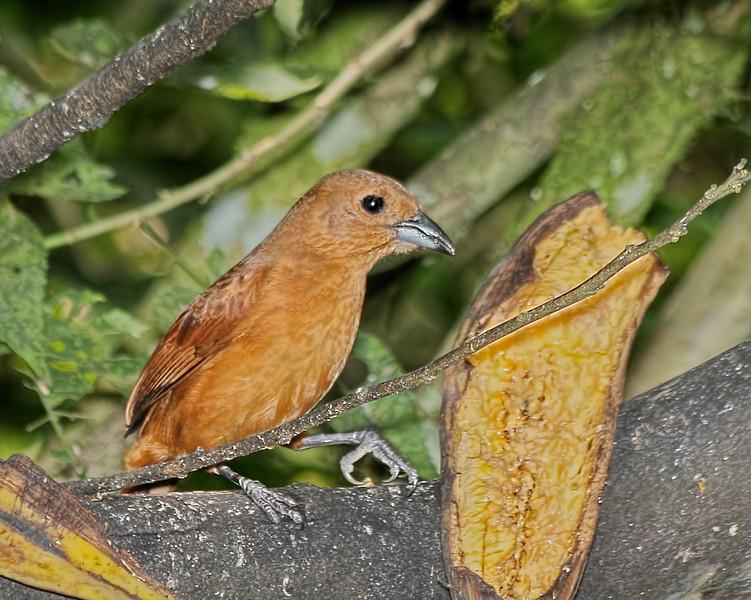 One-colored Becard - Female