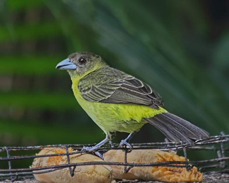 Lemon-rumped Tanager - Female