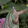 Brown Violetear Hummingbird